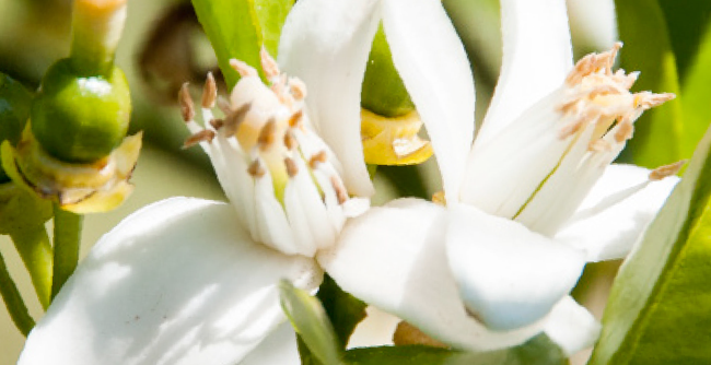 What Is Neroli Oil And How Does It Benefit Your Skin?